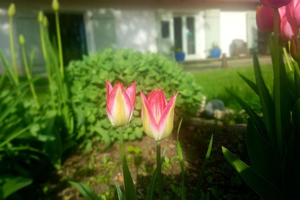 Tulbid kevadel Dagen Haus hoovis