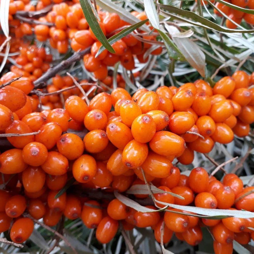 kassari Late Harvest Astelpaju